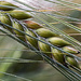 Barley Ears by megpicatilly