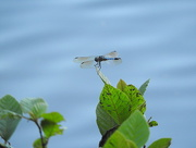2nd Jul 2016 - Blue Dragonfly