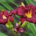 Burgundy Lilies