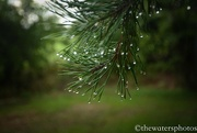 7th Jul 2016 - Rain droplets on the pines