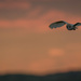 2016 07 07 - Owl at Dusk by pixiemac