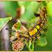 Vapourer Moth Larva by carolmw
