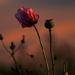 Poppy at Dusk by shepherdmanswife