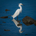 Snowy Egret looking for breakfast by mikegifford