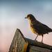 Evening blackbird