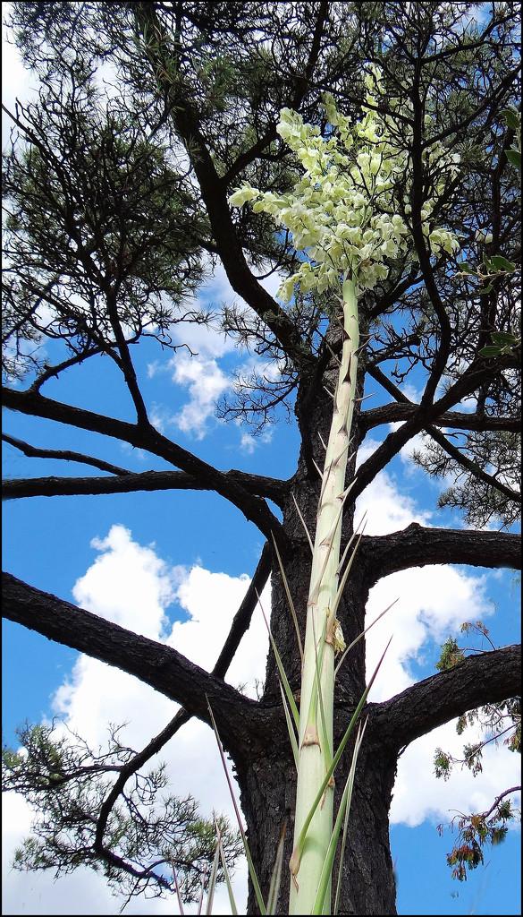 steroidal yucca by aikimomm