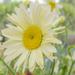 Shasta Daisy ( broadway lights ) by tonygig