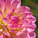 Eye-Catching Dahlia by seattlite