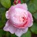 rose  revolution by callymazoo