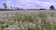 12th Jul 2016 - buckwheat