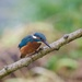 Kingfisher-raindrops on his head. by padlock