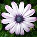 Osteospermum Petals by phil_howcroft