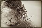 12th Jul 2016 - Mundane Garlic
