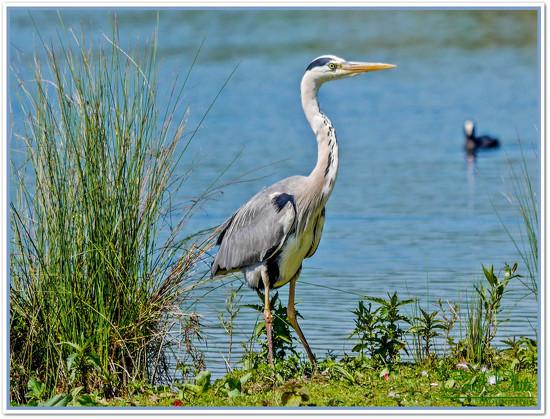 Grey Heron,Stanwick Lakes by carolmw