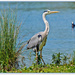Grey Heron,Stanwick Lakes