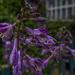 Hosta Flowers by tonygig