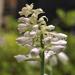 Rainy day hosta bloom by loweygrace