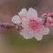 Nectarine Blossom by jodies