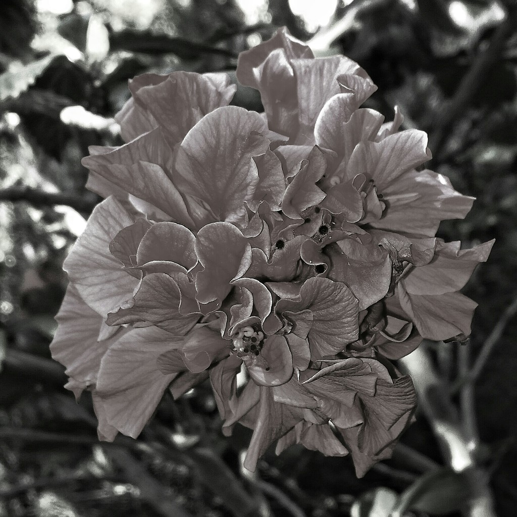 Hibiscus  by salza