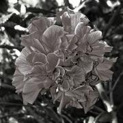14th Jul 2016 - Hibiscus
