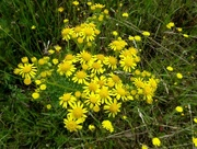 15th Jul 2016 - yellow wild flower