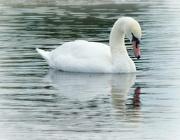 10th Jul 2016 - Regents Park Swan