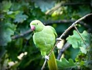 11th Jul 2016 - Ring Neck Parrot in Kensington Gardens