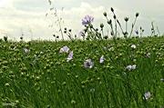 15th Jul 2016 - Field of Flax Seed