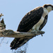 Osprey, Checking Things Out! by rickster549