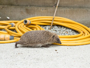14th Jul 2016 - Hedgehog going out