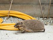 15th Jul 2016 - Hedgehog coming back