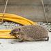 Hedgehog coming back