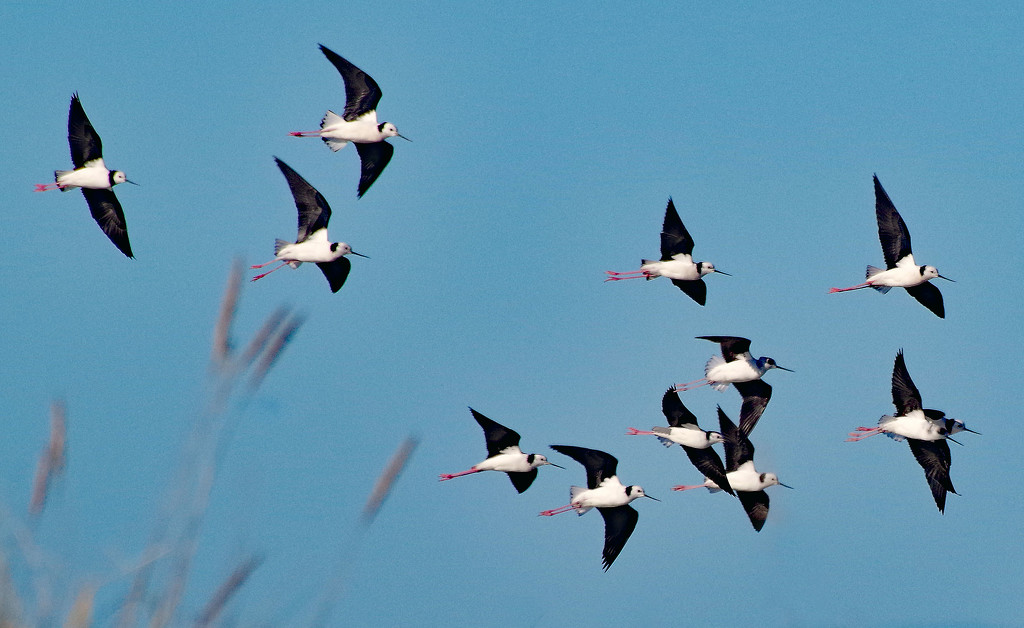 Pided stilts in flight by maureenpp