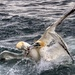 Fighting Gannets. by gamelee