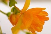 16th Jul 2016 - Orange Begonia