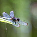 Dragonfly by danette