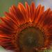 Dark Sunflower by dsp2