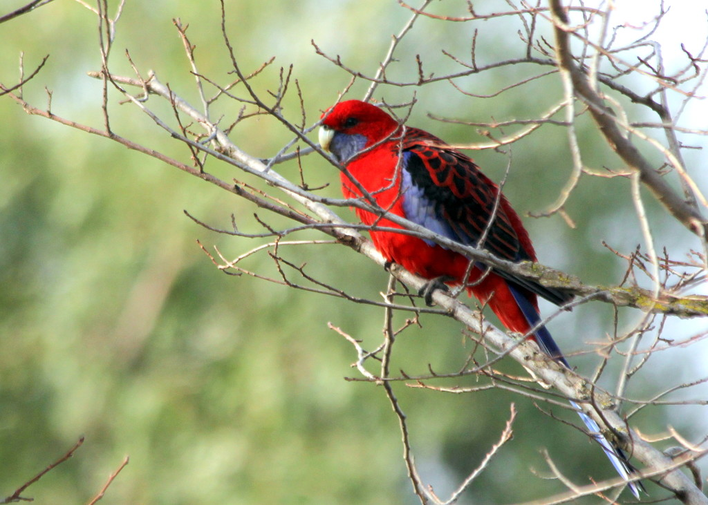 Crimson rosella by gilbertwood