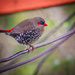 Red-Eared Firetail Finch by jodies
