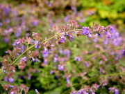 13th Jul 2016 - N is for nepeta