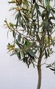 16th Jul 2016 - O is for olive tree