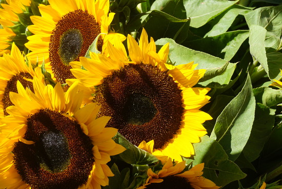 Sunflowers by darsphotos
