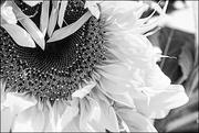 17th Jul 2016 - Sunflower in the Style of Fan Ho