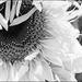 Sunflower in the Style of Fan Ho by olivetreeann