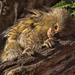 Peeping Pygmy by helenw2