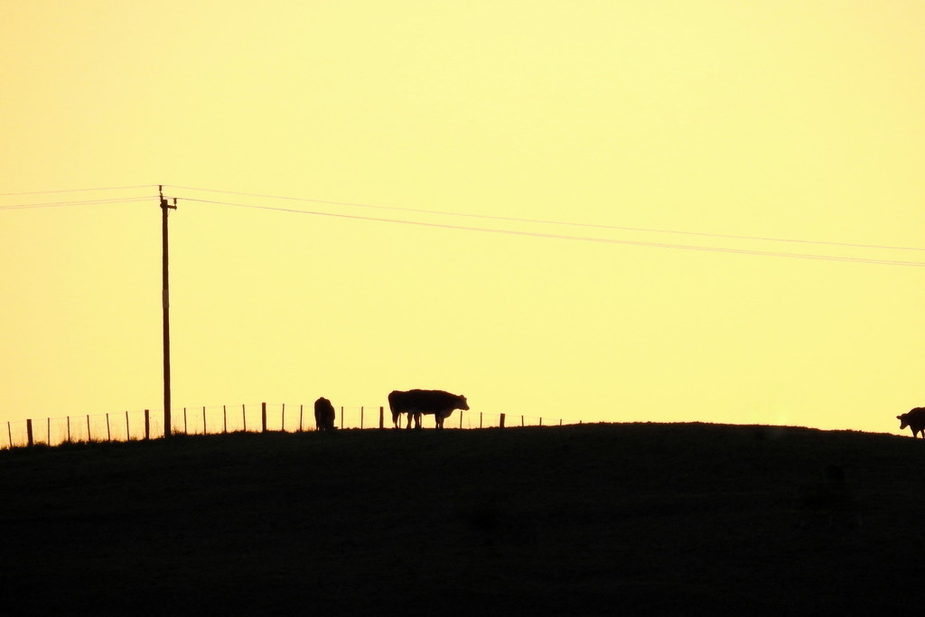 Cattle at Sunset by nickspicsnz
