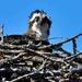 osprey  by mjalkotzy