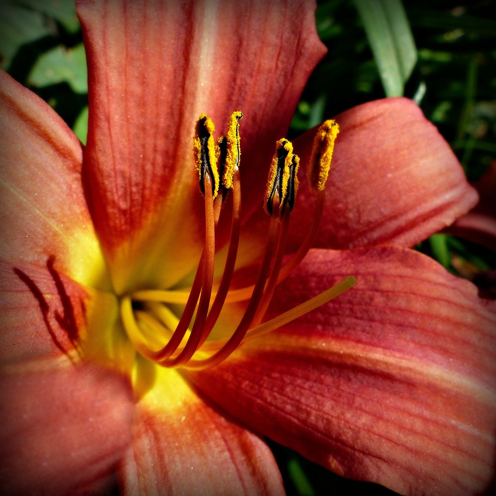 Day Lily by judithdeacon