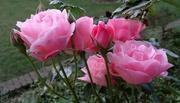 20th Jul 2016 - pink roses