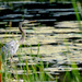 Heron by tosee
